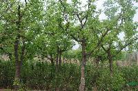 枣树,李子树