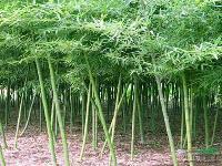 雷竹 菲白 黄纹 粉单竹