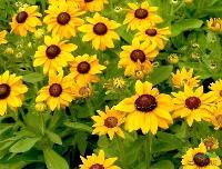 金光菊,假向日葵,黑眼菊,黄菊,黄菊花