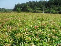 江西造林小苗,江西绿化小苗,湿地松枫香