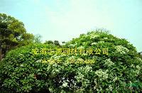 老石楠 中华石楠,枫杨,朴树,三角枫,合欢,栾树,榔榆,金桂