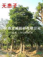 安徽供应:朴树、榔榆、紫薇、海桐、枫香、三角枫、