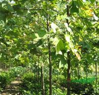 银芽柳.水腊.鹅掌楸.黄连木.大叶扶芳藤等3000品种