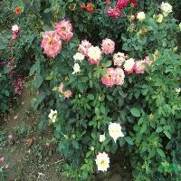 泡桐树.五彩月季.香椿树.樱花树等3000品种