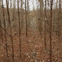 江西水杉价格,江西水杉小苗,2-10公分水杉