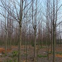 3-10公分马褂木价格,12公分马褂木价格.