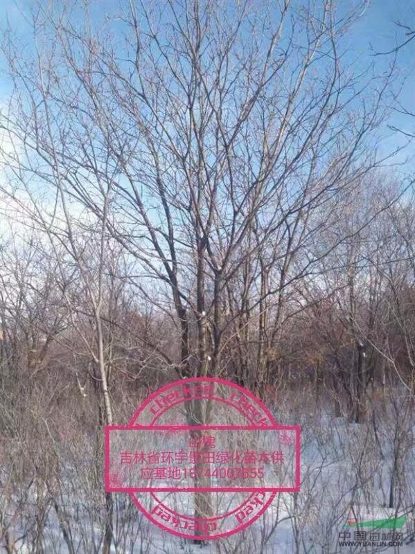东北山槐风景树图片