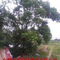 安徽供应 乌桕、 紫叶李 、香樟、 广玉兰、大叶女贞苗木