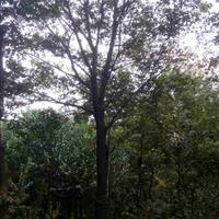 檀树,乌患籽、五角枫、朴树、乌桕、黄连木、榔榆、丝棉木、喜树