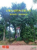 安徽肥西有:榔榆、紫薇、海桐、枫香、三角枫 !!!!