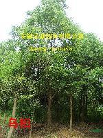安徽 乌桕 三角枫 红叶李 大叶女贞 香樟 广玉兰 栾树