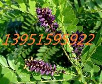 绿色生态护坡紫穗槐狗牙根黑麦草狼尾草多花木兰紫花苜蓿种子包邮