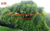 安徽肥西有供应:国槐、榔榆、青檀、柿树