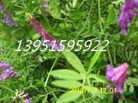黑麦草苏丹草苜蓿草特点玉米草狼尾草都是好牧草种子全国包邮