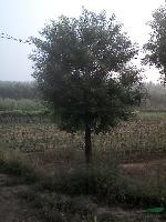 10公分白蜡,国槐各450棵,一*树