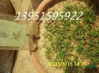 百慕达狗牙根种子发芽率不高数量高白三叶红三叶种子价格低还包邮