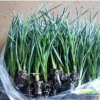 香石竹苗,即康乃馨苗,切花优质组培苗,*好的康乃馨花苗