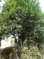 肥西大量供應:桂花  紫薇 枇杷 三角楓 國槐