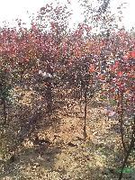 安徽肥西大量供应大叶女贞,紫薇,三角枫广玉兰,桂花香樟红叶李