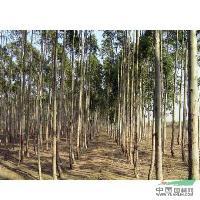 桉树供应/桉树图片