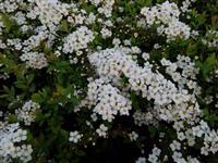 喷雪花 别 名:珍珠花、线叶绣线菊、珍珠梅、珍珠绣线菊