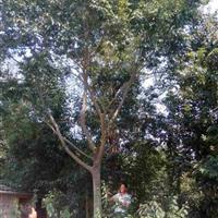 肥西供应: 朴树 榔榆 三角枫 重阳木 枇杷 黄连木