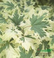 花叶挪威槭  具有较高的观赏价值叶缘带有宽金边新品