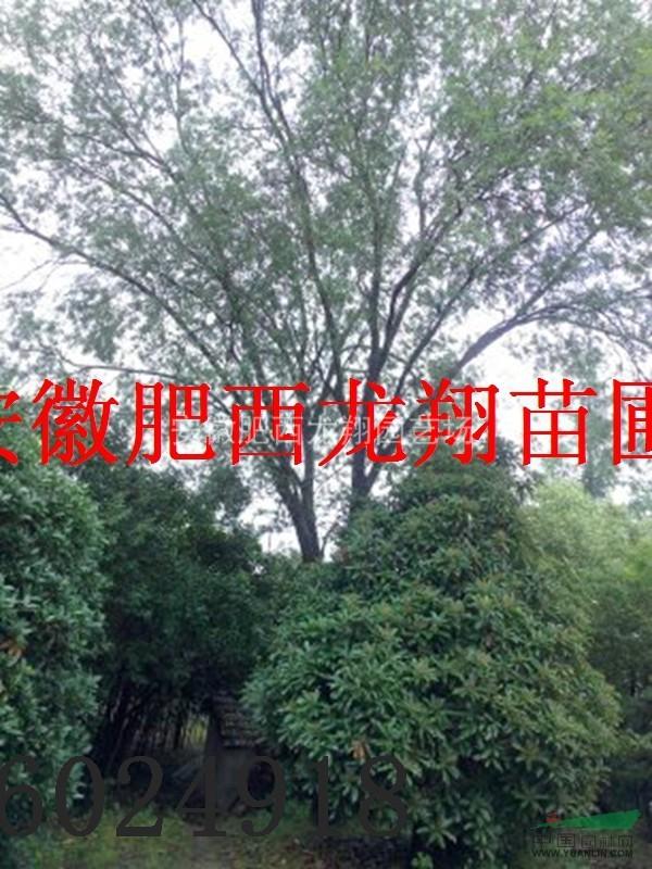 供应安徽合肥黄连木、红叶李、紫薇、大叶女贞、香樟、广玉兰、紫玉兰