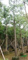 木棉供应,大量