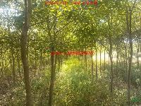 肥西乌桕、三角枫、紫叶李、紫薇、桂花、青桐、水杉