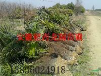 棕榈、美人梅、垂柳、木槿、花石榴、南天竹、黄金钟