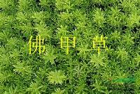 楼顶绿化专用草,屋顶绿化专用草,房顶绿化用草,佛甲草,垂盆草
