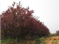 红叶李、紫叶李 樱桃李