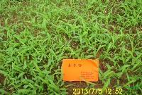 哪里有野高粱种子苏丹草发芽率好种子价格优惠全国都能邮