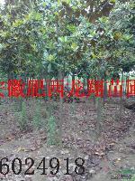 广玉兰、水杉、紫薇、枇杷、中华石楠、椤木石楠、红叶石楠、海桐