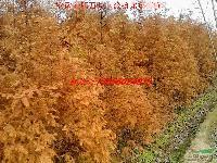 水杉、紫薇、枇杷、中华石楠、椤木石楠、红叶石楠、海桐