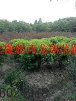 无刺构骨 紫叶李,大叶女贞,香樟,紫薇,马褂木,水杉,黄连木