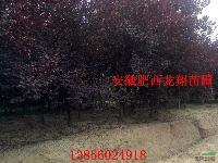 紫叶李,大叶女贞,香樟,紫薇,马褂木,水杉,黄连木,桂花
