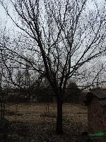 杏树 安徽肥西乌桕、红叶李、大叶女贞、三角枫、紫薇、香樟
