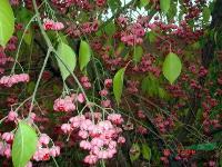 丝棉木 安徽肥西乌桕、乌桕、三角枫、红叶李、香樟