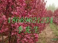 北美海棠苗