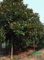 供应湖南广玉兰树、广玉兰树价格、广玉兰上车价、*便宜的广玉兰