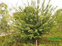 柞树单株一米到四米