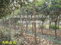 安徽出售: 重阳木、大叶女贞、紫叶李、香樟、栾树常年供应