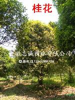 桂花,女貞,紅葉李,香樟,烏患籽、五角楓、七葉樹、櫻花