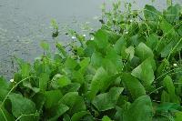 杭州萧山常年大量供应泽泻,和其它水生植物,地被植物,自产自销