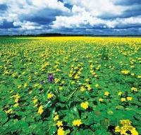 杭州萧山常年大量供应荇菜和其它水生植物,地被植物,自产自销