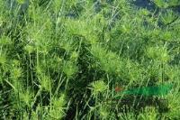 杭州萧山常年大量快乐赛车开奖细叶莎草,和各种水生植物,地被植物。