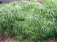 专业大量供应旱伞草