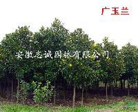 安徽肥西常年大叶女贞 广玉兰 水杉 栾树 乌桕 朴树 榔榆.